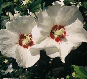 Hibiscus syriacus 'Red Heart' Hibiscus