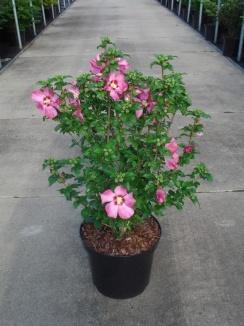 Hibiscus syriacus 'Woodbridge' | Hibiscus (12L pot)