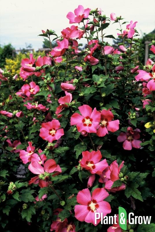 Hibiscus syriacus 'Woodbridge' | Hibiscus