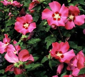 Hibiscus syriacus 'Woodbridge' Hibiscus