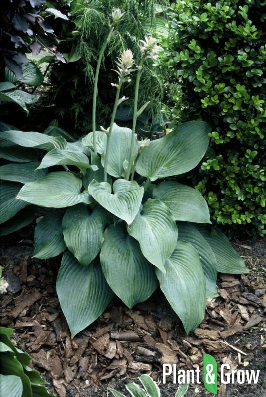 hosta 39 blue angel 39 kopen plant grow. Black Bedroom Furniture Sets. Home Design Ideas