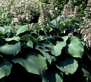Hosta 'Blue Angel' Hartlelie