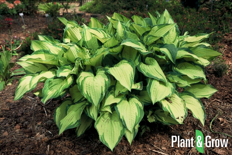 Hosta fortunei 'Albopicta' | Hartlelie