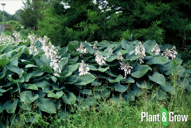 hosta sieboldiana 39 elegans 39 kopen plant grow. Black Bedroom Furniture Sets. Home Design Ideas