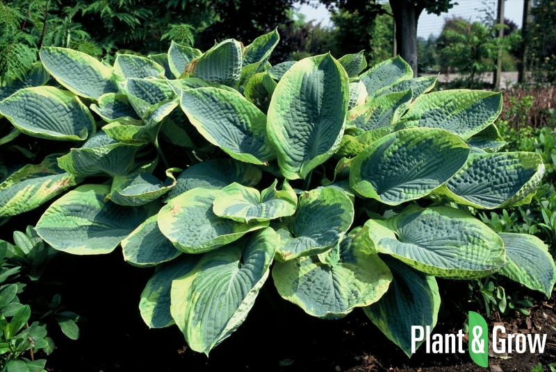 Hosta sieboldiana 'Frances Williams' | Hartlelie