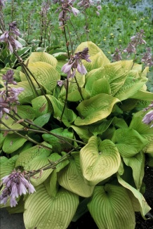 Hosta 'Sum and Substance' | Hartlelie