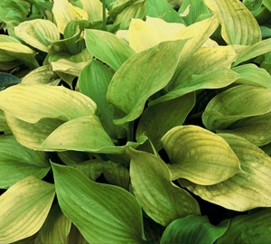 Hosta 'Sum and Substance' Hartlelie