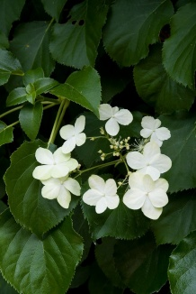 Hydrangea anomala petiolaris | Klimhortensia