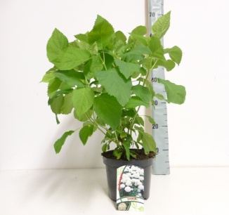 Hydrangea arborescens 'Annabelle' | Hortensia (Ø 17cm pot)