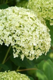 Hydrangea arborescens 'Annabelle' | Hortensia