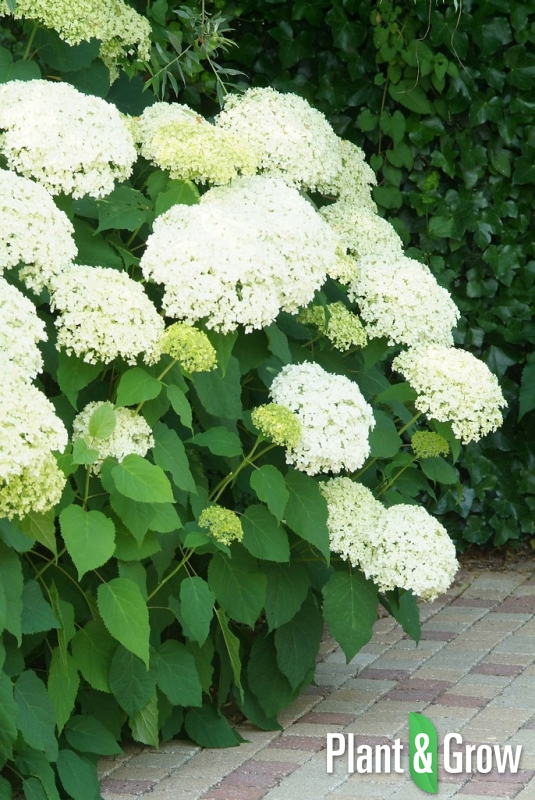 hydrangea arborescens 39 annabelle 39 kopen plant grow. Black Bedroom Furniture Sets. Home Design Ideas