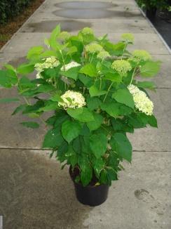 Hydrangea arborescens 'Annabelle' | Hortensia (12L pot) - zomerbeeld