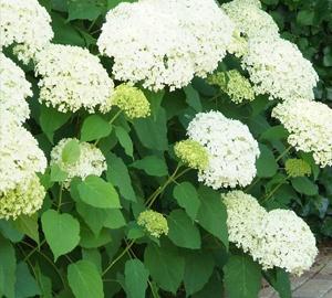 Hydrangea arborescens 'Annabelle' Hortensia