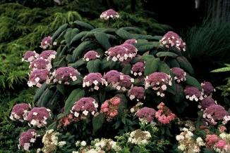 Hydrangea aspera 'Macrophylla' | Fluweelhortensia