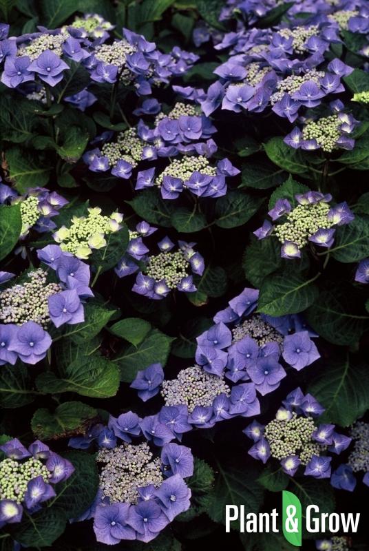 Hydrangea macrophylla 'Blaumeise' | Schermhortensia