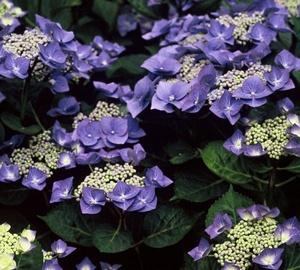Hydrangea macrophylla 'Blaumeise' Schermhortensia
