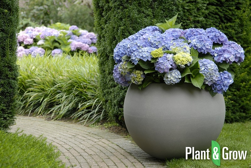 hydrangea macrophylla 39 forever ever blue 39 kopen. Black Bedroom Furniture Sets. Home Design Ideas