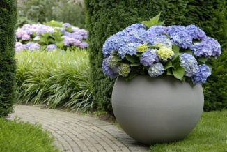 Hydrangea macrophylla 'Forever & Ever® Blue' | Hortensia