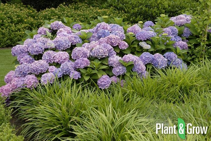hydrangea macrophylla 39 forever ever blue 39 hortensia. Black Bedroom Furniture Sets. Home Design Ideas