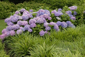 Hydrangea macrophylla 'Forever & Ever® Blue' | Hortensia