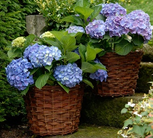 Hydrangea macrophylla 'Forever & Ever® Blue' Hortensia