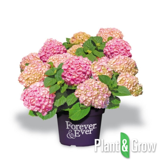 hydrangea macrophylla 39 forever ever pink 39 hortensia. Black Bedroom Furniture Sets. Home Design Ideas