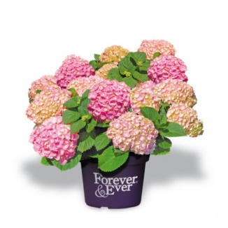 Hydrangea macrophylla 'Forever & Ever® Pink' | Hortensia