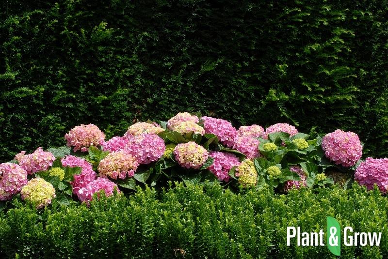 hydrangea macrophylla 39 forever ever pink 39 kopen. Black Bedroom Furniture Sets. Home Design Ideas