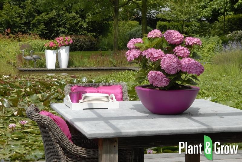 Hydrangea macrophylla 'Forever & Ever® Pink' | Hortensia