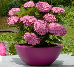 Hydrangea macrophylla 'Forever & Ever® Pink' Hortensia