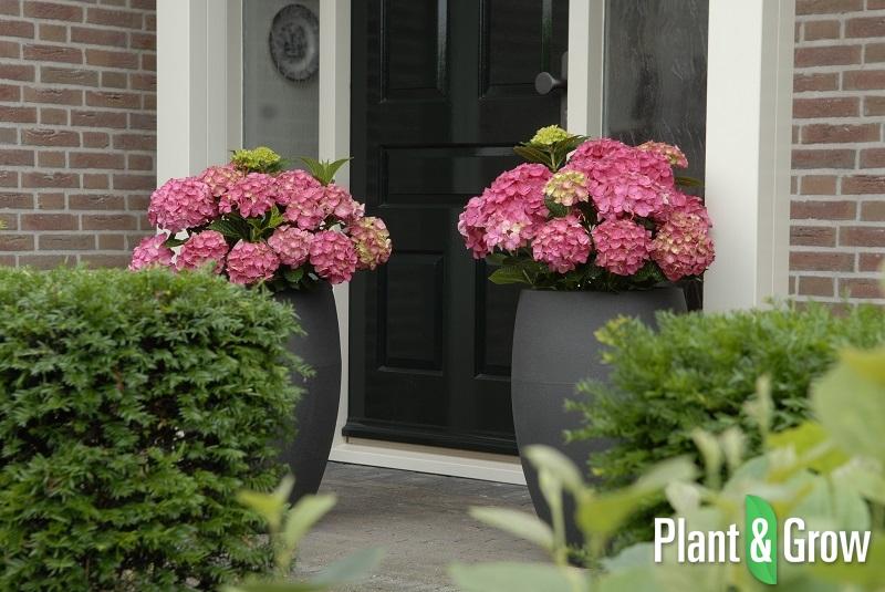 hydrangea macrophylla 39 forever ever red 39 kopen plant. Black Bedroom Furniture Sets. Home Design Ideas