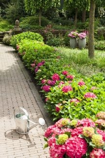 Hydrangea macrophylla 'Forever & Ever® Red'
