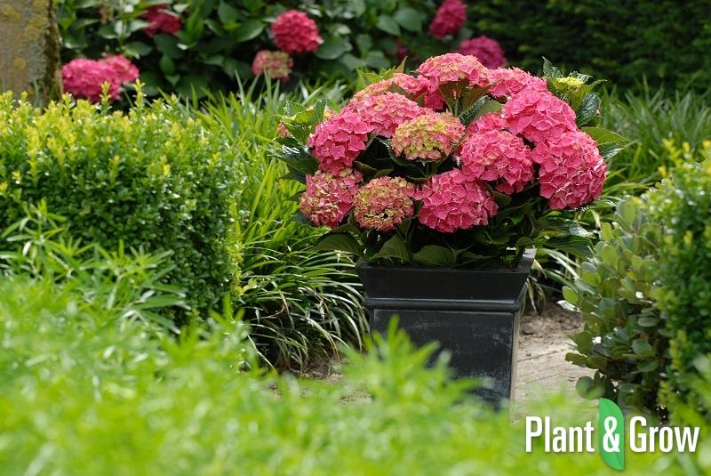 hydrangea macrophylla 39 forever ever red 39 hortensia. Black Bedroom Furniture Sets. Home Design Ideas