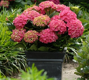 Hydrangea macrophylla 'Forever & Ever® Red' Hortensia