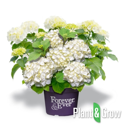 hydrangea macrophylla 39 forever ever white 39 kopen plant grow. Black Bedroom Furniture Sets. Home Design Ideas