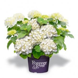 Hydrangea macrophylla 'Forever & Ever® White' | Hortensia