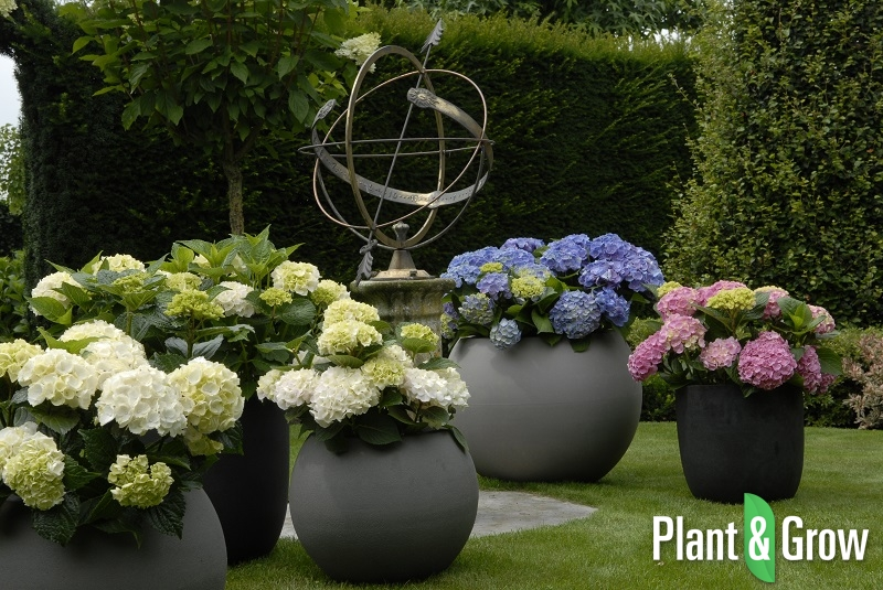 hydrangea macrophylla 39 forever ever white 39 hortensia. Black Bedroom Furniture Sets. Home Design Ideas