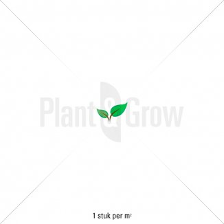 Plantafstand | Hydrangea macrophylla 'Forever & Ever® White'