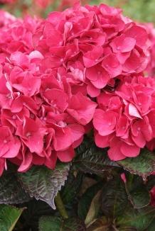 Hydrangea macrophylla 'Merveille Sanguine' | Bolhortensia