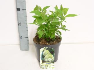 Hydrangea paniculata 'Limelight' | Pluimhortensia (Ø 17cm pot)