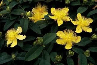 Hypericum calycinum | Hertshooi