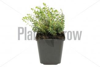 Hypericum olympicum 'Grandiflorum' | Hertshooi (pot 9x9cm) - VOORJAAR