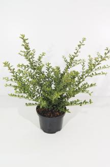 Ilex crenata 'Convexa' | Japanse hulst (Ø 17cm pot)