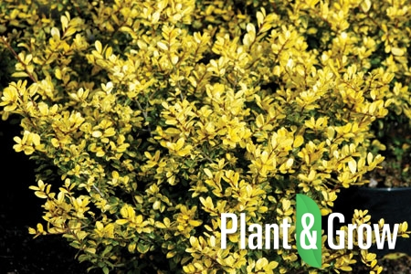 Ilex crenata 'Golden Gem' | Chinese hulst