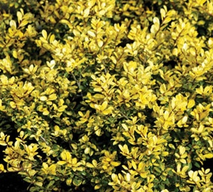 Ilex crenata 'Golden Gem'  Chinese hulst