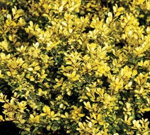 Ilex crenata 'Golden Gem'  Chinese hulst