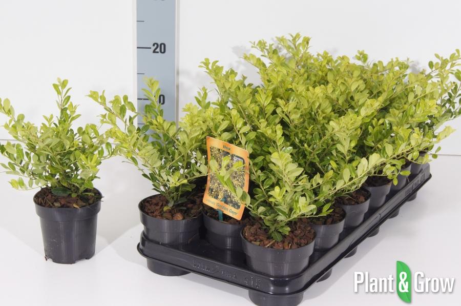 Ilex crenata \'Golden Gem\' kopen? - Plant & Grow