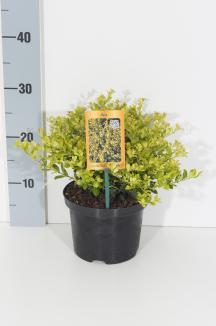 Ilex crenata 'Golden Gem' | Chinese hulst (Ø 17cm pot)