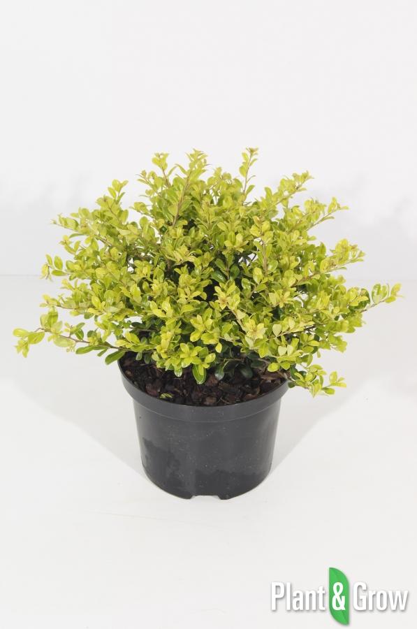 ilex crenata 39 golden gem 39 kopen plant grow. Black Bedroom Furniture Sets. Home Design Ideas