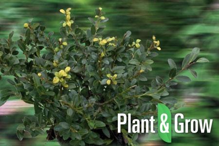 ilex crenata 39 stokes 39 hulst kopen plant grow. Black Bedroom Furniture Sets. Home Design Ideas